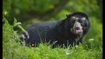 WATCH: Bernardo the spectacled bear arrives at Chester Zoo
