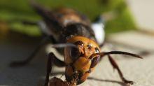 Hallan nido de avispones asesinos en EEUU