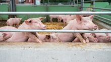 Schweinepest trifft Bauern immer mehr - China blockt Exporte