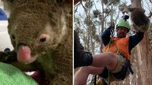 Koalas face extinction by 2050 if 'urgent action' isn't taken