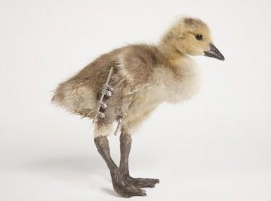 """""""Bionic"""" goose happy to have new leg, disappointed by lack of retractable laser cannon"""