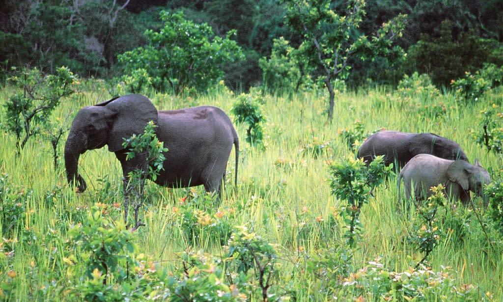 Elephants eating in La Lope National Parc, central Gabon