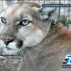 Young mountain lion that survived Woolsey Fire appears healthy, biologists say