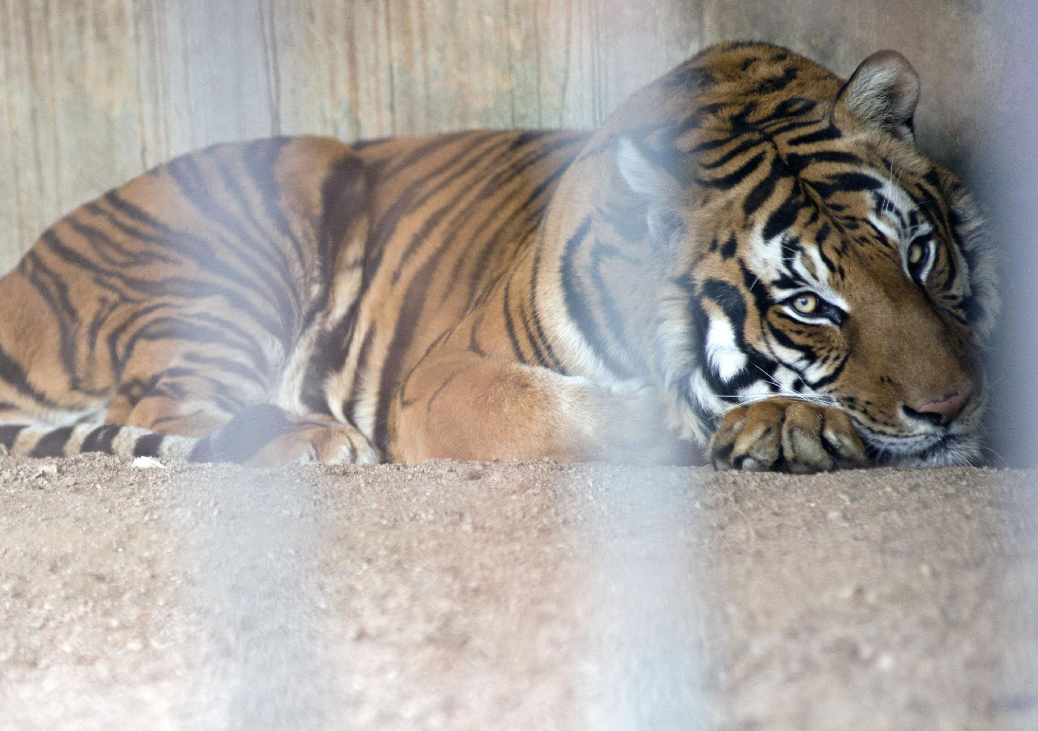 In this Aug. 24, 2013 photo, Hatch, a male tiger that used to work in a circus, rests in his cage at the city zoo in Montevideo, Uruguay. Hatch has lived in a cage since he was traded to the Villa Dolores Zoo which is now looking to send him to a sanctuary in the U.S. There is a surplus of big cats in captivity, according to the World Wildlife Foundation. (AP Photo/Matilde Campodonico)