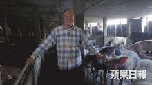 【本地豬】80歲前消防員開豬場連肉檔 拒餵減肥藥被嘲豬肥無人要
