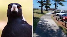 Cyclist dies after trying to avoid swooping magpie