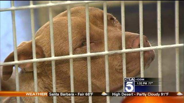 Owner Pleads Not Guilty For Deadly Pit Bull Attack