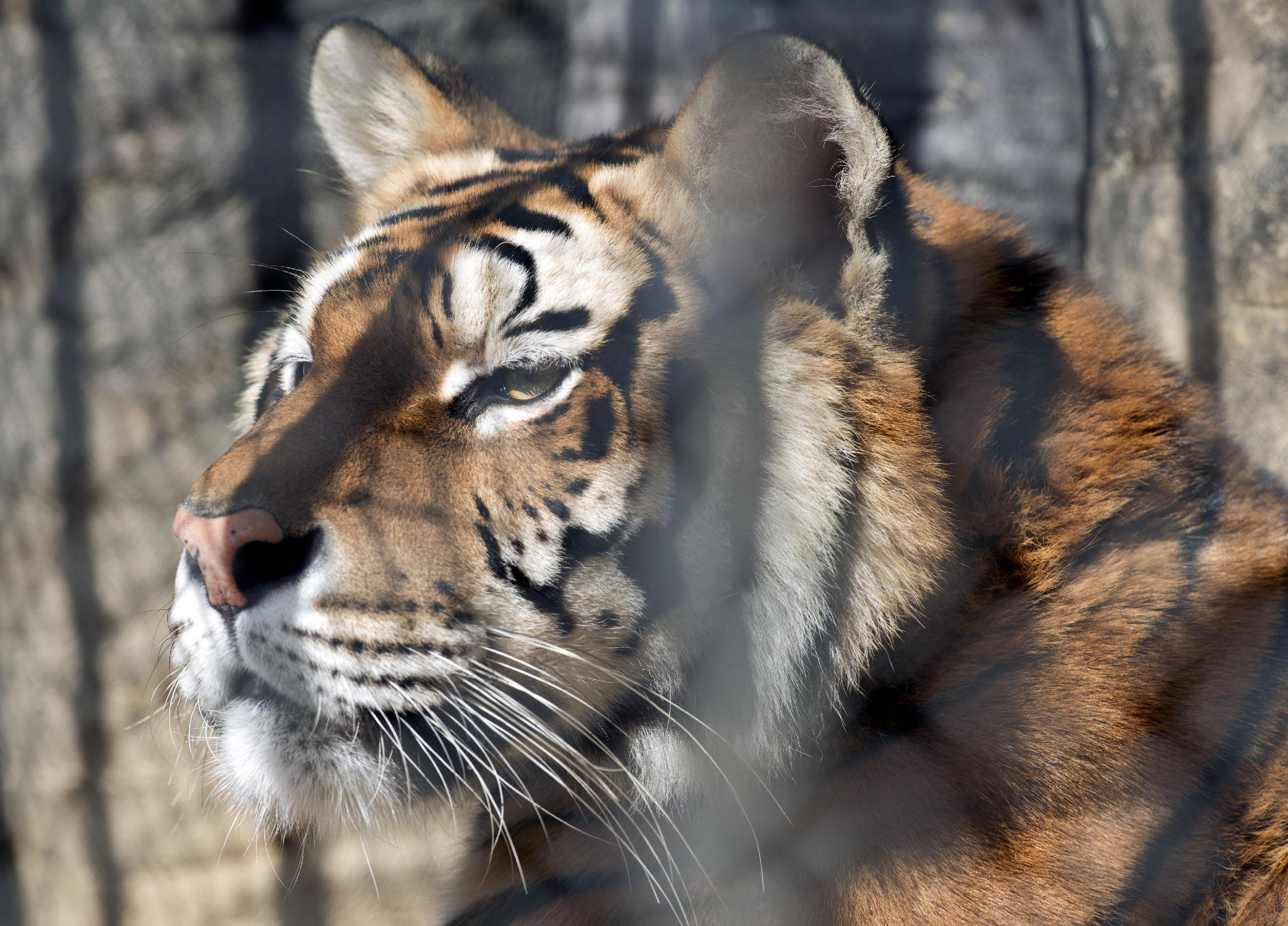 In this Aug. 24, 2013 photo, an unnamed female tiger looks out from her cage at the city zoo in Montevideo, Uruguay. Montevideo's municipal zoo is giving up its two tigers, which will be sent to a sanctuary in the United States. With their departure, the little Montevideo zoo will focus on smaller South American creatures that are easier to maintain. (AP Photo/Matilde Campodonico)
