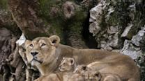 Raw: French Zoo Cautiously Debuts Rare Lion Cubs