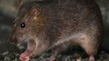 Coronavirus en Estados Unidos: por el hambre, las ratas están más agresivas y recurren al canibalismo