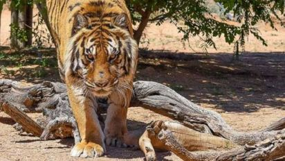 Tiger attacks Ariz. animal sanctuary founder
