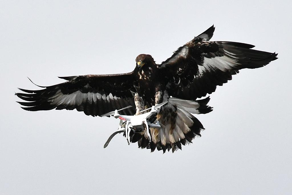As malicious or poorly controlled drones become more of a security threat, the French army is exploring all options for defence, including using royal eagles (AFP Photo/GEORGES GOBET)