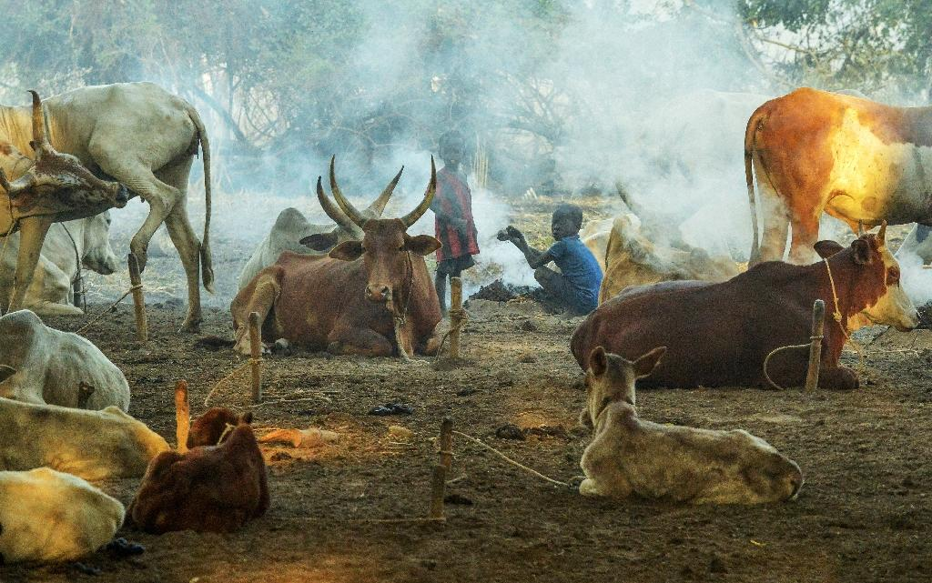 In the culture of the Nuer and Dinka peoples -- South Sudan's largest herder communities -- boys are named after a favoured bull, and songs are written to glorify the long-horned beasts (AFP Photo/SIMON MAINA)