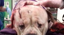 Dog survives after being found bleeding heavily with a blade lodged in his neck