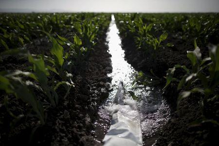 An irrigation channel runs through a corn field in Los Banos