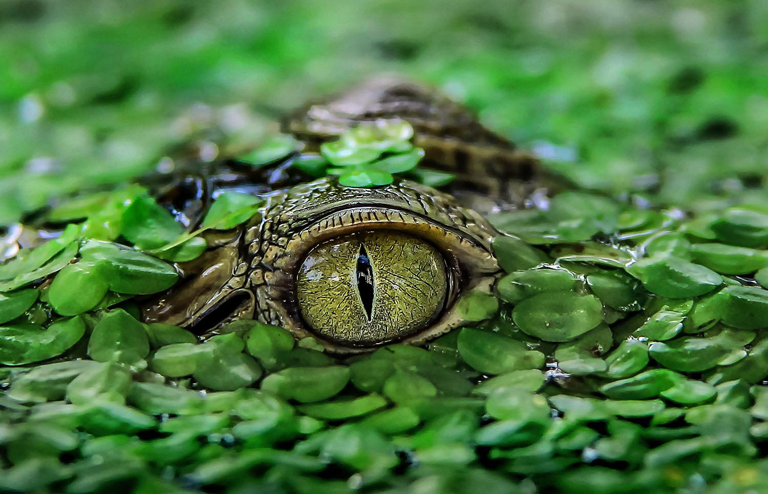 <p>A baby crocodile camouflaging with green leaves in a pond in Tangerang, Indonesia. (Photo:Caters News) </p>