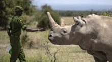 Third embryo created in efforts to save northern white rhino from extinction