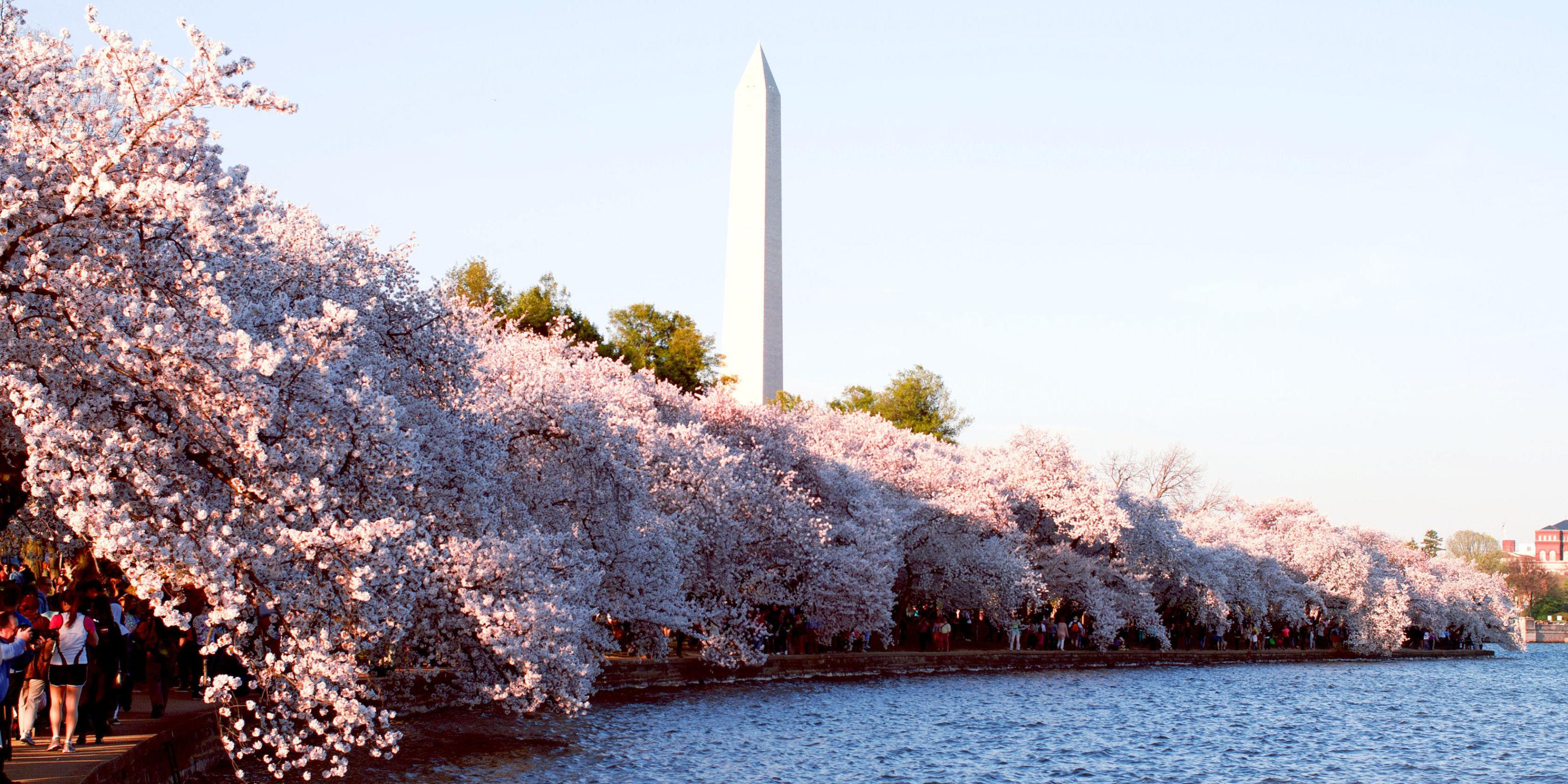 more than cherry trees blossom in It's said that the origin of hanami dates back more than a 1,000 years to when  aristocrats enjoyed looking at beautiful cherry blossoms and.