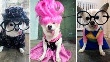 FOTOS: Chihuahua elegante se hace famosa en Instagram