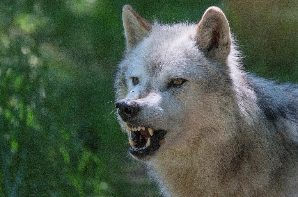 Wolves are among the predators attracted to a molecule from mammal blood known as E2D, that frightens prey -- including humans -- according to scientists reporting in the journal Scientific Reports