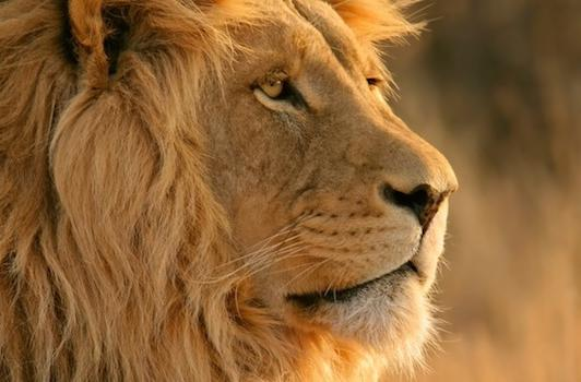 Rumor: Lion near to going live
