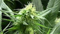 Raw: Grappling with Colo.'s new marijuana law