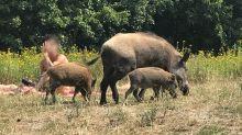 Kurios: Nackter Mann verfolgt Wildschwein