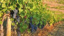 Viticulture et changement climatique : la Région Occitanie active auprès des professionnels de la filière