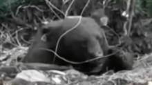 台灣黑熊獲救首日 大口喝水嗑木瓜