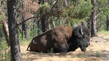Teck Frontier mine poses 'high mortality risk' to bison and birds, Environment Canada says