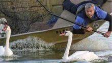 La ciudad de Estados Unidos que se llenó de cisnes tras un regalo de la reina Isabel II (y por qué han comenzado a venderlos)