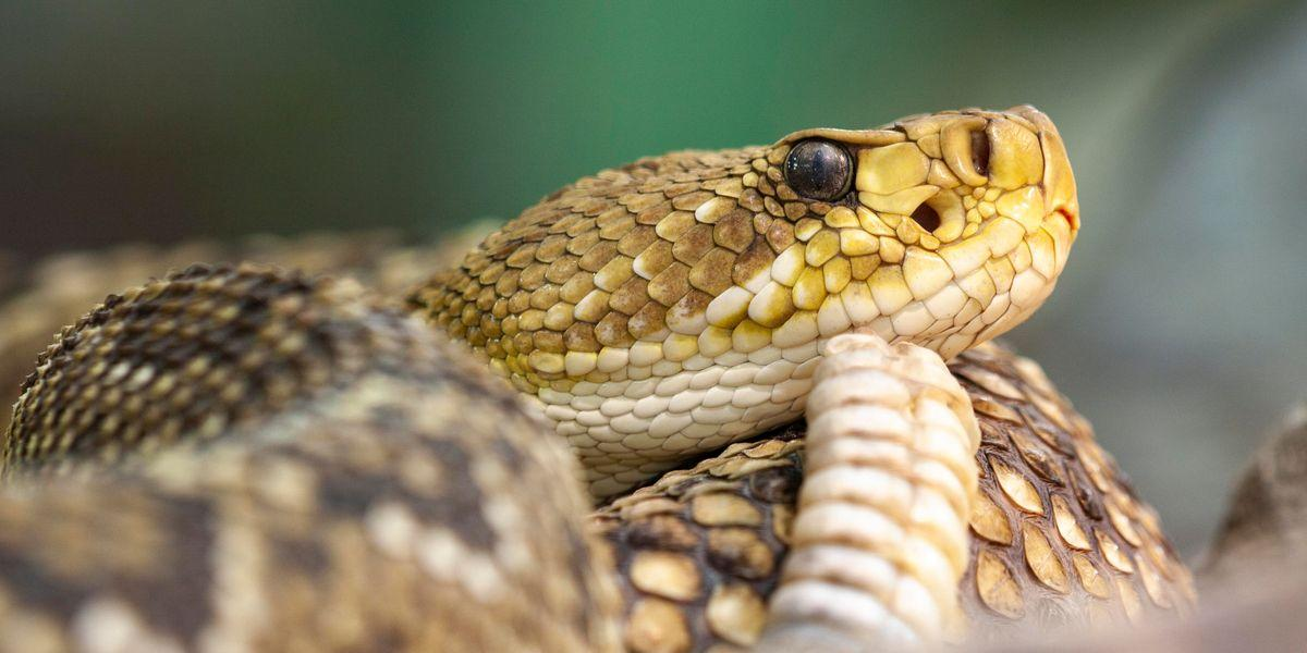 , Nearly 90 Tangled Rattlesnakes Removed From Beneath Woman's House, The Evepost National News