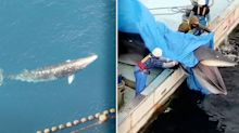 'A brutal end': Whale trapped for 19 days 'drowned' by fishermen