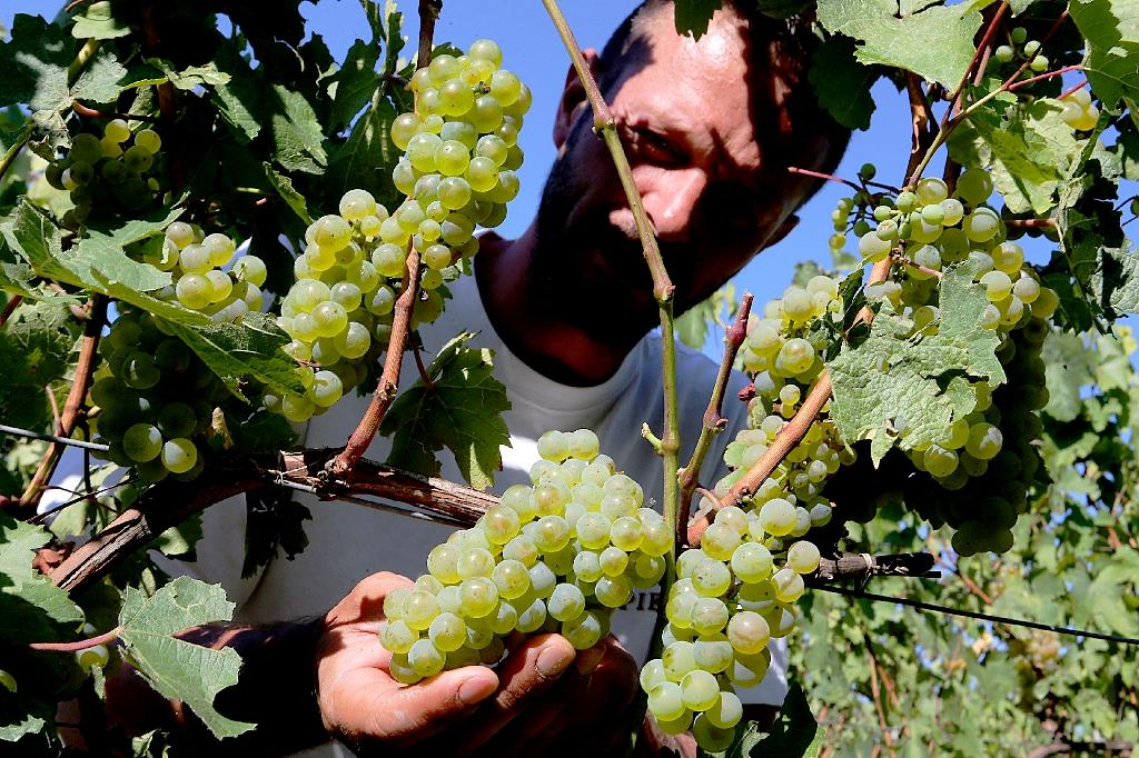 Rare Champagne grapes flourish with global warming