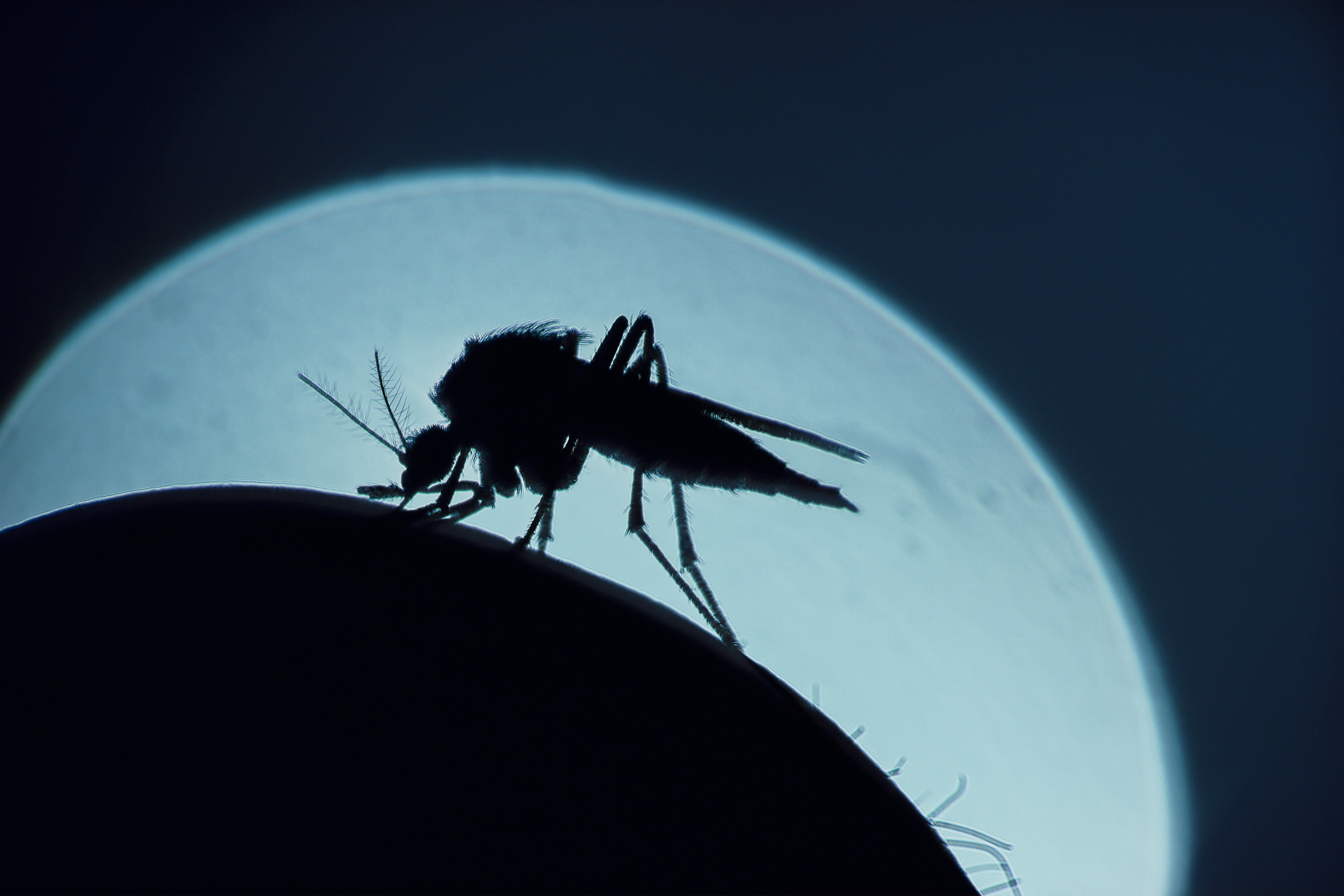 A mosquito, that is silhouetted against the moon,bites a human arm