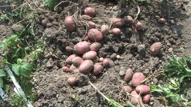How To Harvest New Potatoes Easily