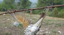 Barbara Pompili veut interdire la technique de chasse à la glu