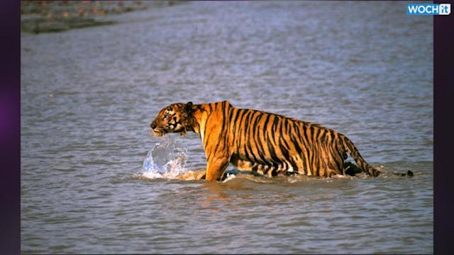 Tiger Leaps Onto Boat, Snatches Man In East India