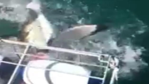 Great white shark gets head in shark cage