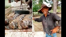 Polícia investiga abate de 3 onças-pintadas em Mato Grosso; assista