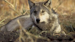 Washington state begins killing wolf pack for preying on livestock