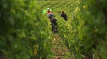 World wine output falls to 60-year low