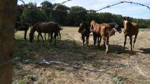 Mutilations de chevaux: une jument mutilée dans l'Ain, une autre retrouvée morte en Haute-Vienne