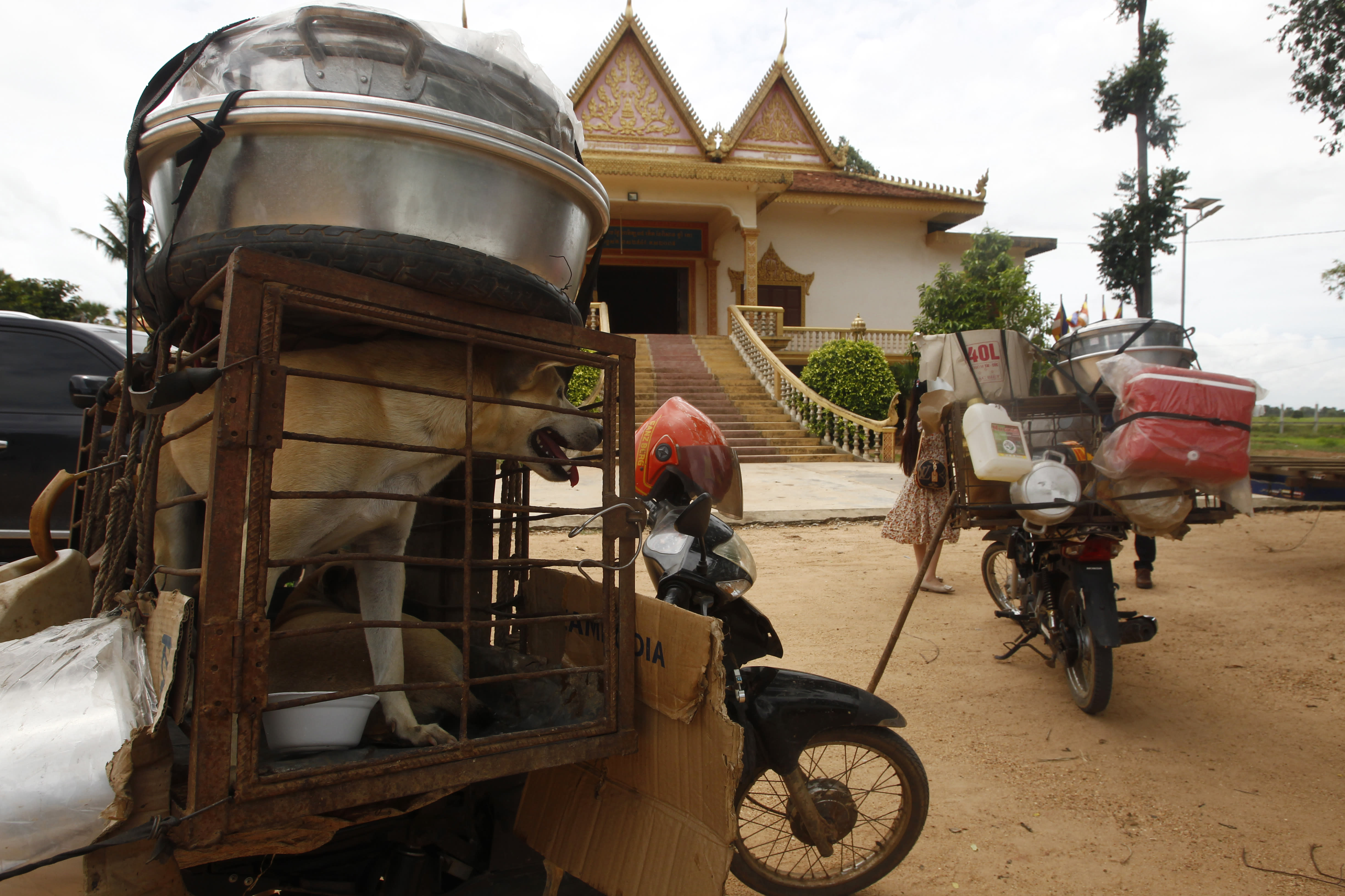 Dogs place in a cage are carrying at a back seat of motorbike as they supposed to be sold to slaughterhouses in a Buddhist pagoda in Tang Krasang village in Kampong Thom province north of Phnom Penh, Cambodia, Wednesday, Aug. 5, 2020. Animal rights activists in Cambodia have gained a small victory in their effort to end the trade in dog meat, convincing a canine slaughterhouse in one village to abandon the business. (AP Photo/Heng Sinith)