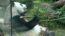 Oldest pandas outside China at home in Mexico City