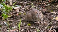Coronavírus: ratos 'agressivos' buscam comida em cidades nos EUA após fechamento de restaurantes