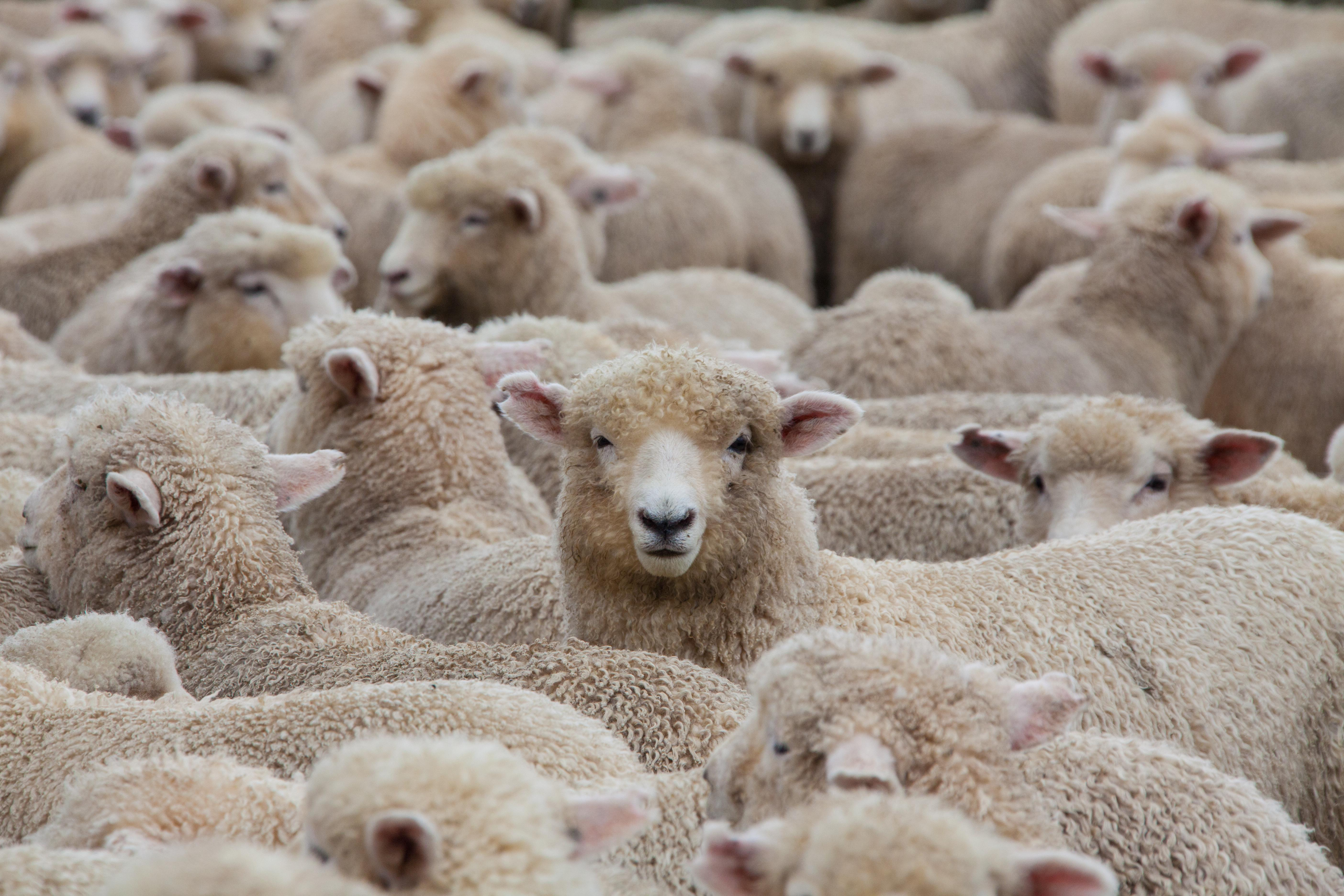Много овечек картинка