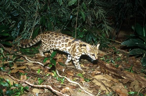 New Housecat-Size Feline Species Discovered