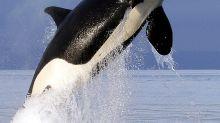 SeaWorld publica datos de sus orcas para ayudar a la especie