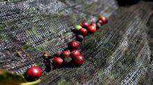 Café arábica cae por exceso de oferta, azúcar sin refinar repunta